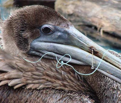 Photo of Brown Pelican with fish hook embedded in bill.