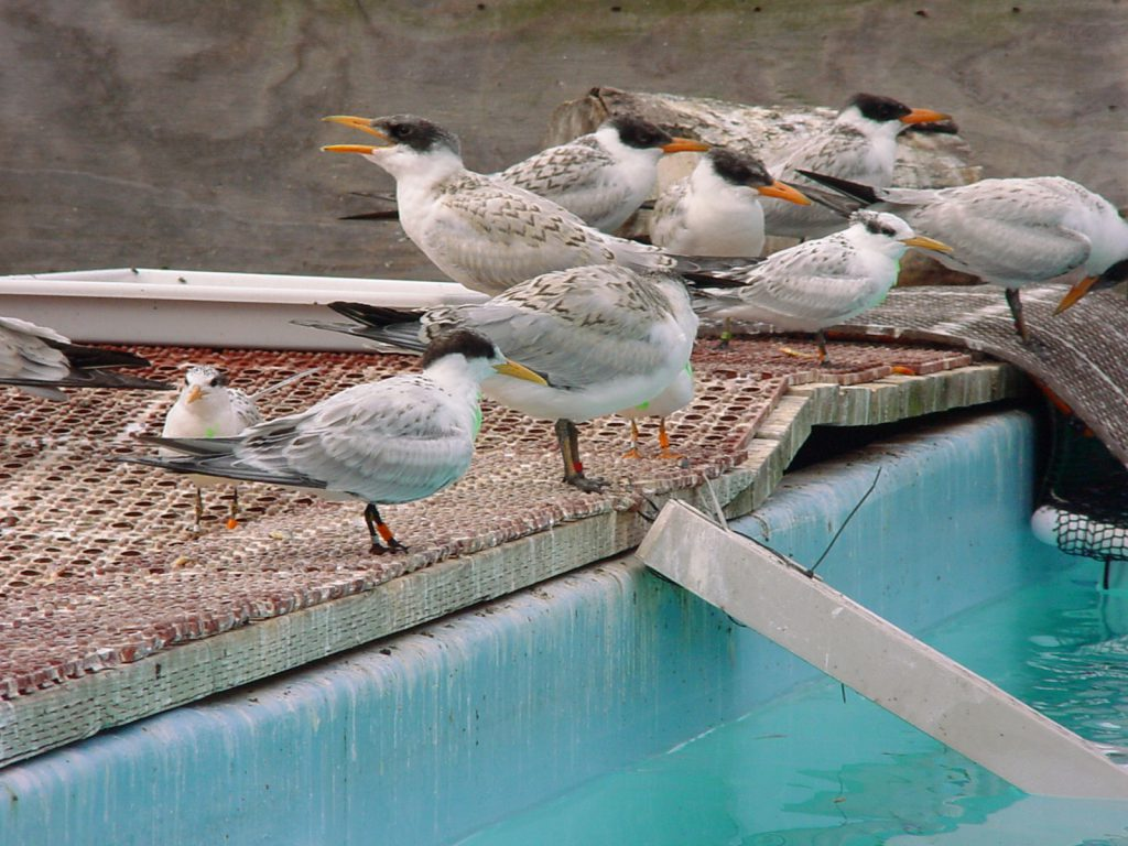 Rescued Caspian Terns from 2006 barge incident in care at International Bird Rescue