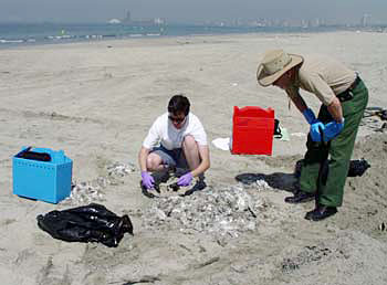 Collecting dead Caspian Terns that washed up on the shore at Long Beach, CA.