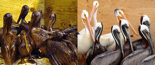 Oiled Pelicans before cleaning and after during 2010 Gulf Oil Spill