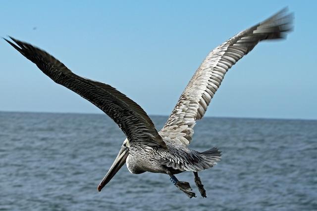 Pelican, Brn C34 Flying - Steinkamp 1