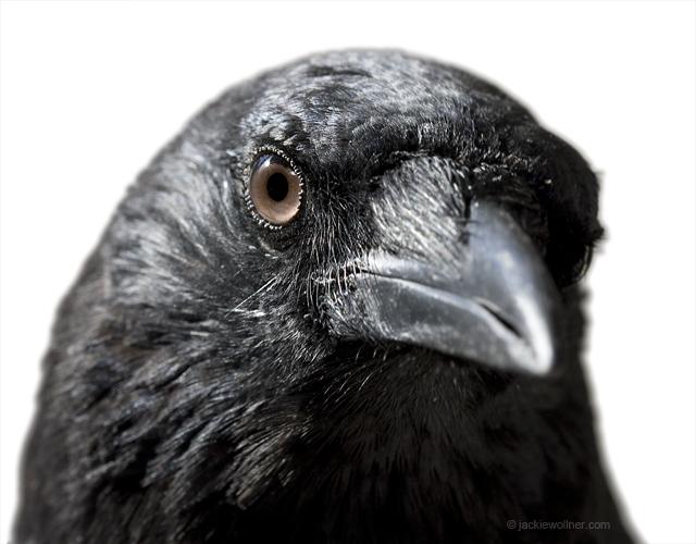 Crow 0056 A01