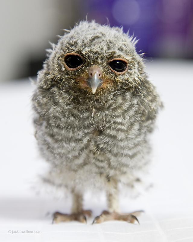 Flamulated Owl 7816 A01