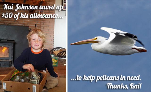kai-pelicans