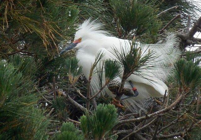 red-banded egret-Cindy Margulis