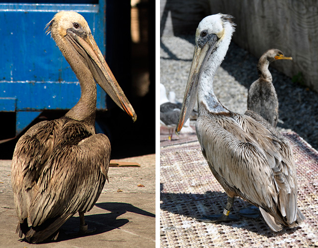 0938-61101: Dirty Brown Pelican coated in fish oil, left, and after cleaning, right, at our Los Angeles Center.