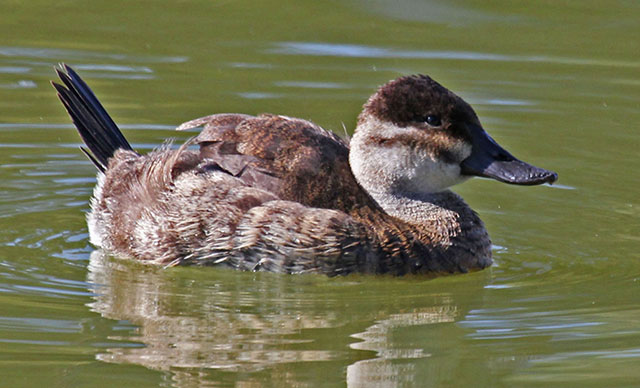 Ruddy_Duck_female_RWD