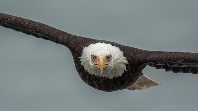 Graham-McGeorge-Bald-Eagle3