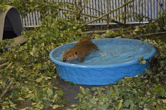 Beaver in Rehab home 1