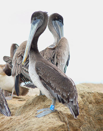 Pelican C13, photo by Bill Steinkamp