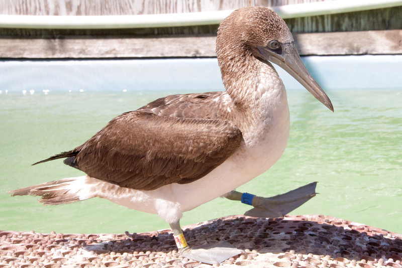 Blue-footed Booby IMG_0084-L