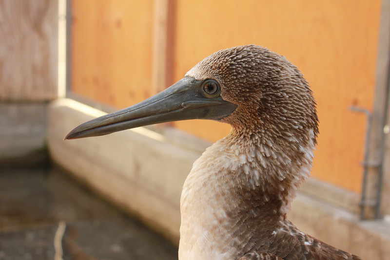 Blue-footed Booby2