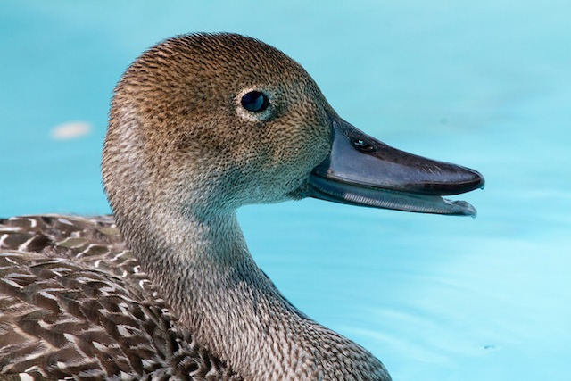 Duck, Pintail IMG_0873-L