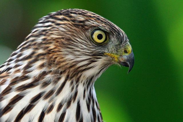 Hawk, Cooper's-L