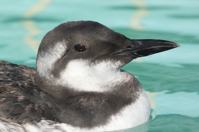Common Murre at SF Bay Center