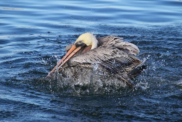 Pelican, Brown IMG_1566-L