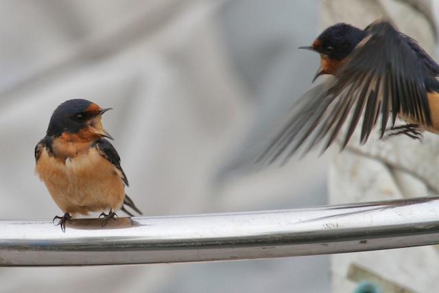 Swallow, Barn Angry IMG_2258-L