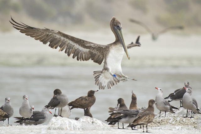 Banded Brown Pelican Coming Down
