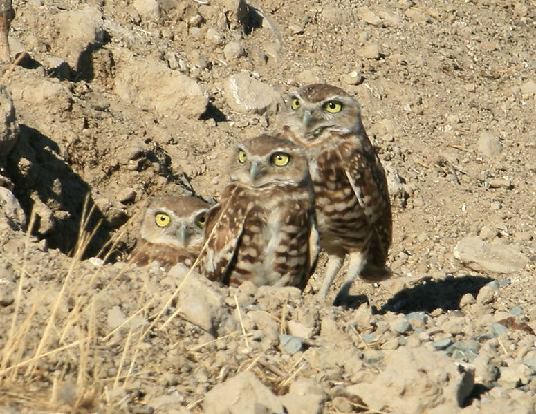 775px-Burrowing_Owl_Family_in_Antioch