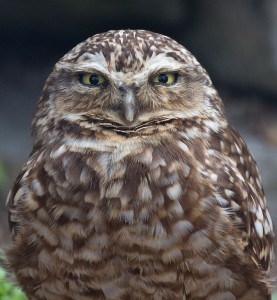Burrowing_Owl_2_(7116133277)