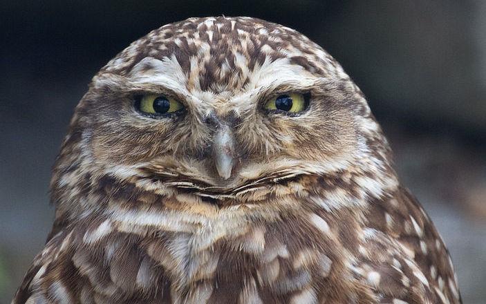 Burrowing_Owl_2_(7116133277)