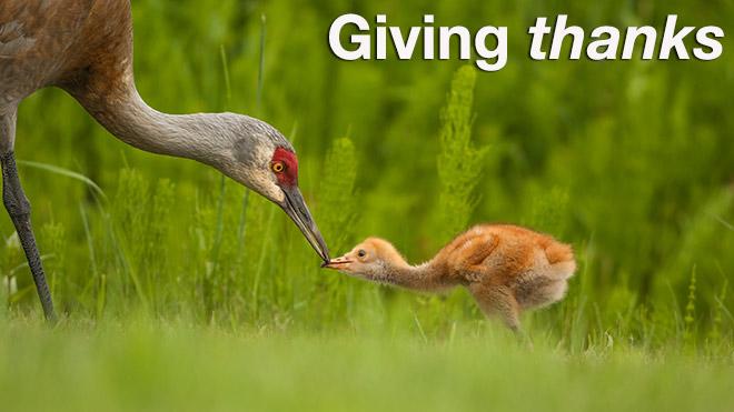 Photo of Sandhill Cranes