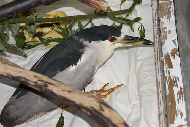 Black-Crowned Night Heron 13-2477 recovering from fishhook removal
