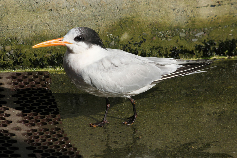 Release day for Elegant Tern 13-2408 at SF Bay Center
