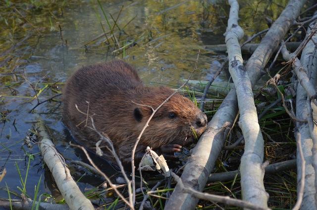 beaver-release-sm