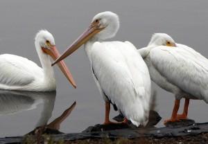 Pelicans at Lake Merritt