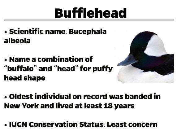 Bufflehead