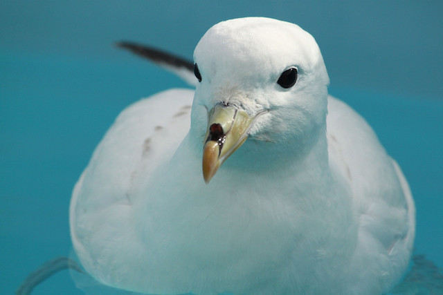 Northern Fulmar in care at SF Bay Center.