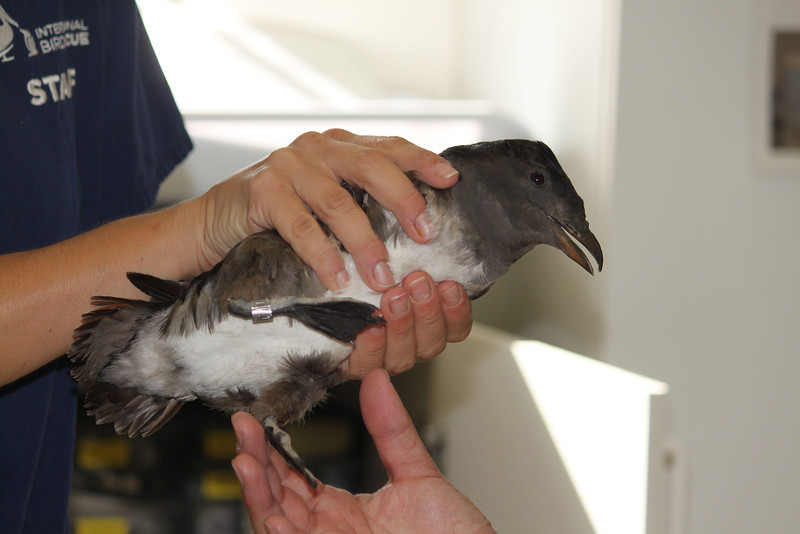 Rhinocerous Auklet at SF Bay Center banded for release