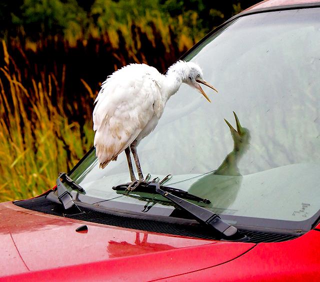 Reluctant-Egret