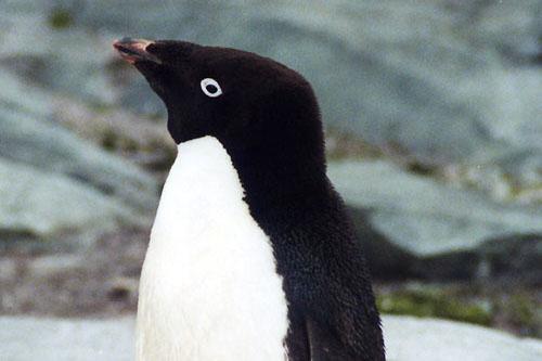 Adelie_Penguin