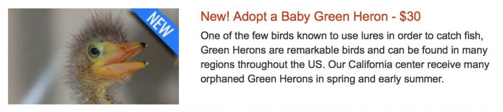 Baby Green Heron Adoption