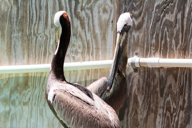 IBR-Pelican Surgery 04282014_8