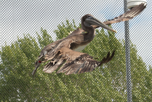 Brown Pelican (red band) in care at SF Bay Center