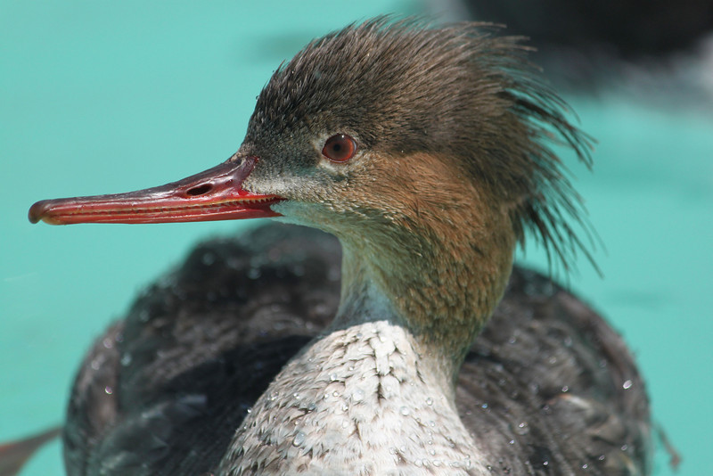 Red-breasted Merganser # 14-0243 in care at SF Bay Center