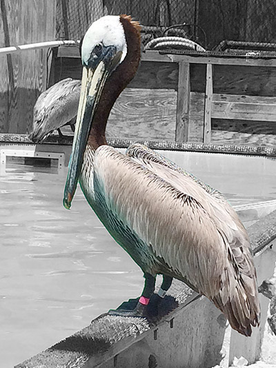 Pink the Pelican in care at IBR photo