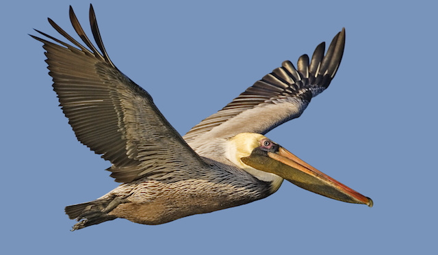 Brown_pelican_-_natures_pics