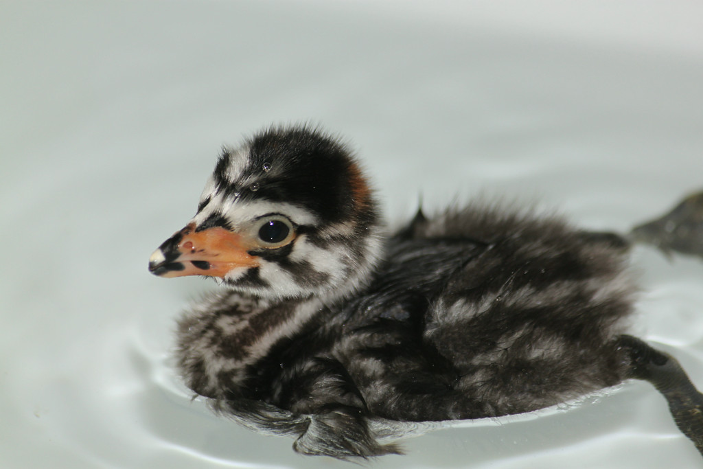 """""""Pied-Billed Grebe 14-2060 chick in care at SF Bay Center"""""""