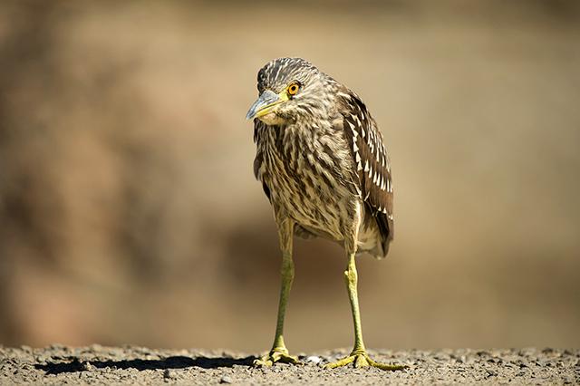 Black-crowned-Night-Heron-Karen-Schuenemann