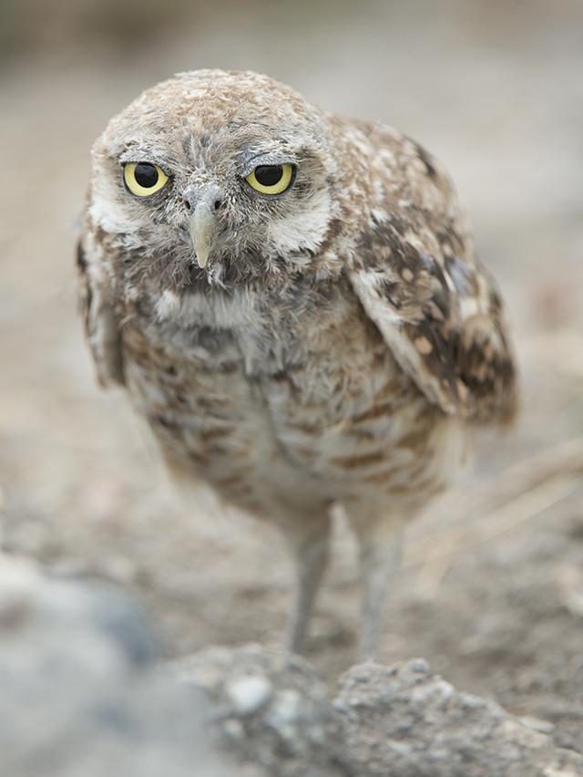 Burrowing Owl, Karen Schuenemann