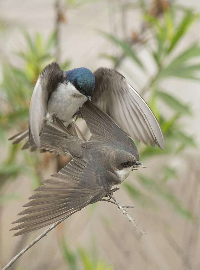 Tree Swallows, Karen Schuenemann