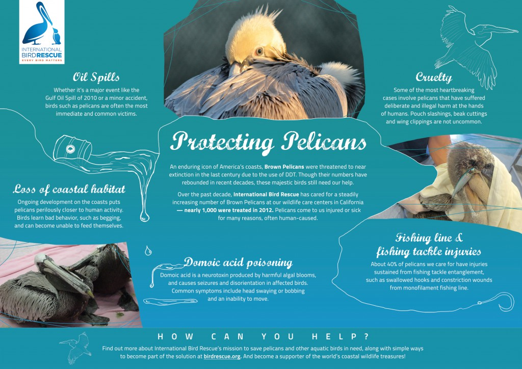 Muller-Protecting-Pelicans