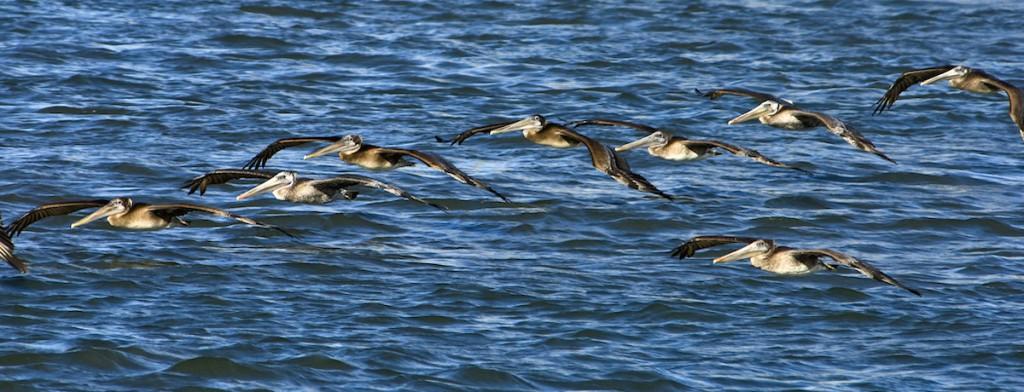 CA brown pelicans flying