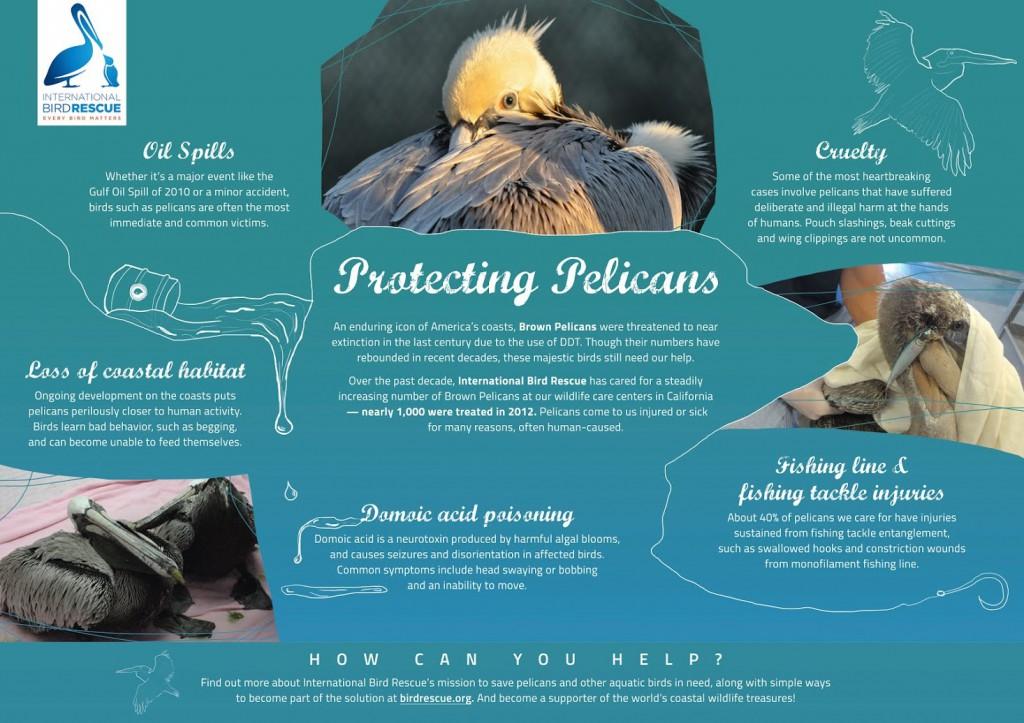 Protecting Pelicans