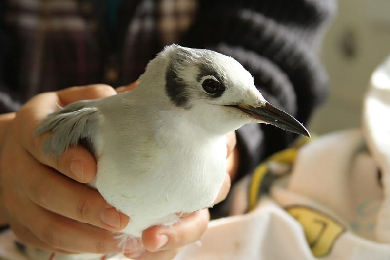 """""""Bonaparte's Gull in care at SF Bay Center"""""""