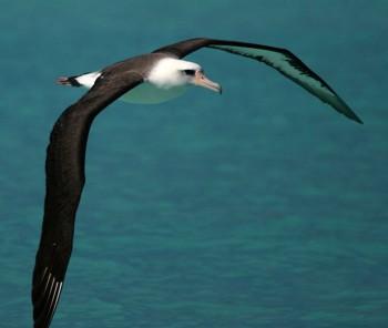 Albatross-flight-flickr-CC